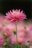 A flower of Dahlia