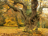 A large, old and gnarled Sweet Chestnut tree at Sheffield Park