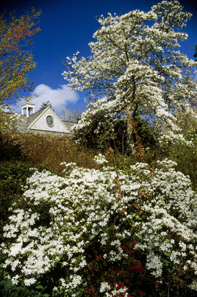 White flowering rhododendron and magnolia at Greenway garden, with a glimpse of the stables behind