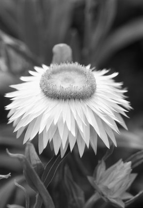 Close up of the flower of Helichrysum COCO in the garden at Sissinghurst in the summer