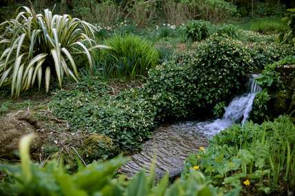 Medium view of the stream with moisture loving plants beside it, and a waterfall above in the Stream Garden at Trengwainton