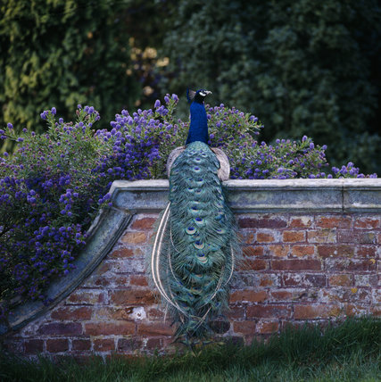 Peacock sitting on brick wall in the gardens at Powis, with closed tail