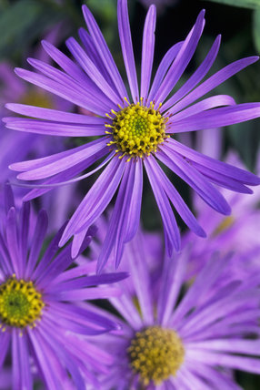 The lavender blue flowers of Aster x frikartii 'Monch' (Frikart's aster) blooming at Coleton Fishacre