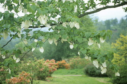 View of Davidia Involucrata Vilmoriniana Dove Tree (or Ghost Tree, Handkerchief Tree) shrubs and trees in the South Garden at Emmetts Garden