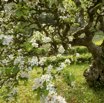 Apple blossom on an old tree in the gardens at Llanerchaeron