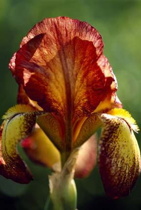 A close up of a iris 'firecracker' flower, growing in the garden at Sissinghurst