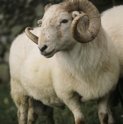 Close view of Welsh Mountain ram with curling horns
