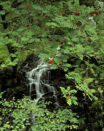 A stream running through a wood and falling over rocks, under a rowan tree, with bracken in the foreground