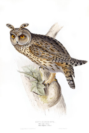 BIRDS OF EUROPE - LONG EARED OWL (Strix otus, Otus vulgaris) in the 19th century book by John Gould in the Library at Blickling Hall