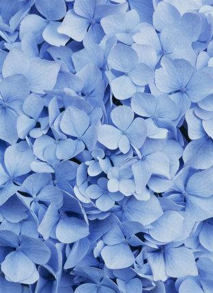 Close-up of a blue Hydrangea flower in Hinton Ampner garden