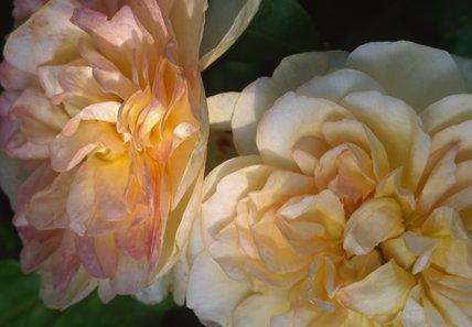 Close-up detail of rose (desprez a fleur jaune noisette,1830)
