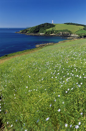 The clifftops at Gribbin Head in Cornwall showing field crop of linseed