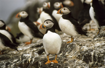 Puffins standing around on the Farne Islands