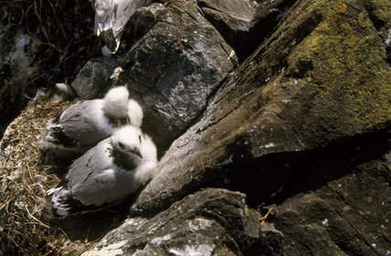 Two kittiwake chicks nestling by a rock on the Farne Islands
