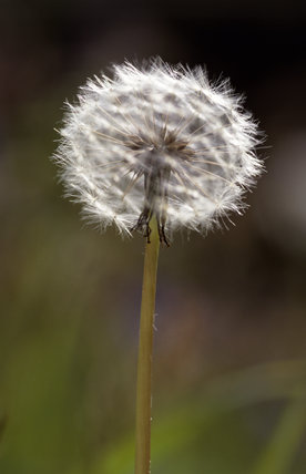 Close-up of a Dandelion seedhead