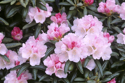 Rowallane, the paddock, rhododendron