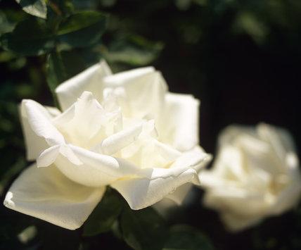 A close-up detail of a white rose - 'Frau Karl Druschki' at Mottisfont Abbey