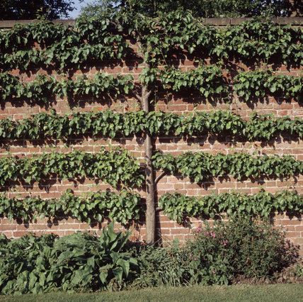 A view looking straight at a pleached fruit tree against a brick wall at Erddig