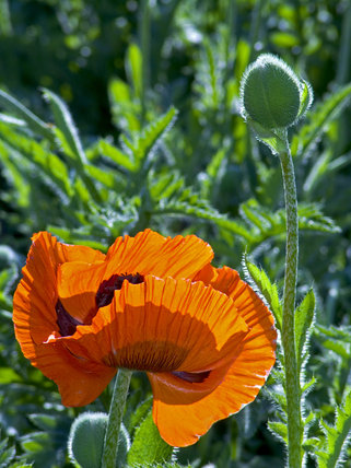Poppies in the garden at Finch Foundry