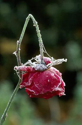 Limp pink Rosebud after November frost, Scotney Castle