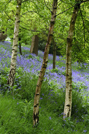Bluebells and silver birch trees in the woodland at for Silver birch trees for small gardens