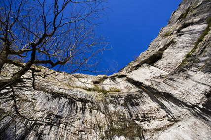 A bare tree clings to the sheer rock face of Malham Cove on a sunny day in late autumn, Yorkshire Dales National Park