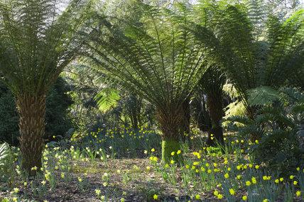 Tree Fern Dicksonia Antarctica Underplanted With Wild