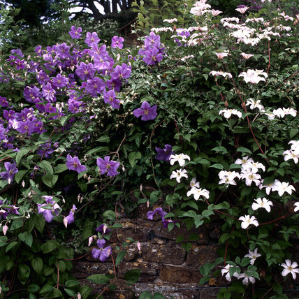 Blue Clematis Perle D Azur And White Clematis Huldine
