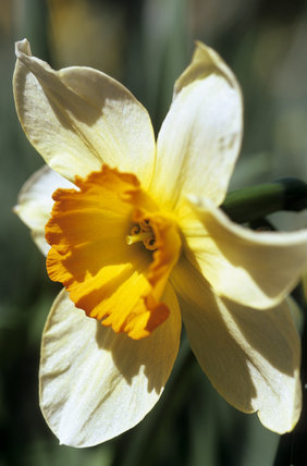 Close View Of Narcissus Quot Flower Record Quot At Cotehele
