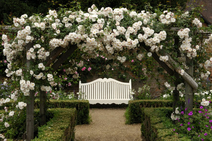 White Bench With Rambler Rose Over The Wooden Pergola In