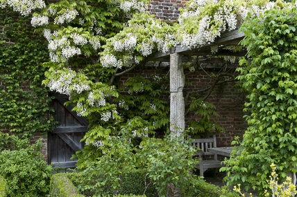 Wisteria Venusta Covers The Pergola In May In The White