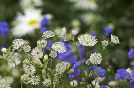 White Astrantia Flowers And Blue Geranium In The