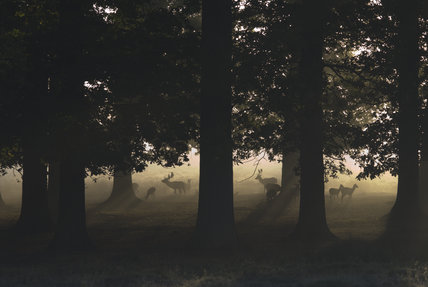 Fallow deer (Dama dama) in autumn, in the magnificent 700-acre deer park at Petworth House, West Sussex