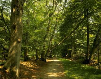 View of Lady's Walk through the woodland at Ashridge Estate