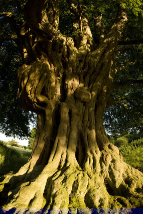 Old And Gnarled Tree Trunk In Hatfield Forest Essex