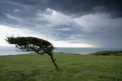 A Windswept Tree On The Clifftops At Crowlink East Sussex