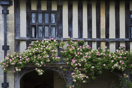 Roses climbing along the half timbered walls of the wing to the south west of the hall at the fifteenth-century Great Chalfield Manor, Wiltshire