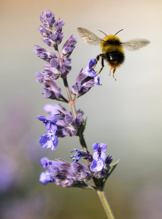 Buff Tailed Bumble Bee Bombus Terrestris In Flight At