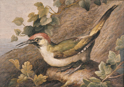 PAINTING OF A GREEN WOODPECKER at Anglesey Abbey