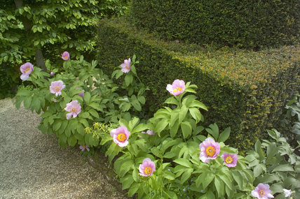 Delicate pink Peony flowers at the base of one of the yew topiary pillars in the Pillar Garden at Hidcote Manor Garden, Gloucestershire