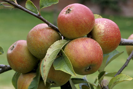 A bunch of Court of Wick apples hang from a branch in the Berrington Hall Orchard