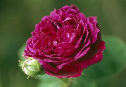 Close-up of Bourbon rose also known as R. `Zigeunerknabe'