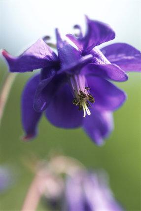 A close-up detail of Blue Columbine (Aquilegia Coerulia) at Glendurgan in May