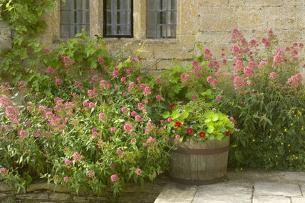 Red Valerian growing alongside the Cotswold stone wall of the house at Snowshill Manor, Gloucestershire, UK