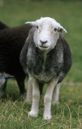 Herdwick sheep at Yew Tree Farm, Coniston, Lake District, Cumbria