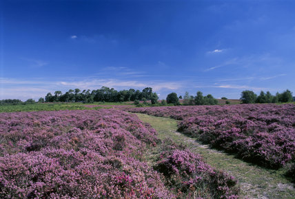 Mass of flowering Bell heather & Ling on Ibsley common in the New Forest, August
