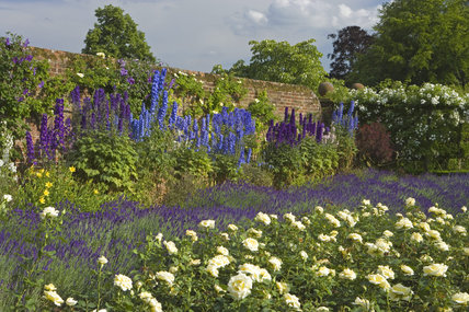 A view of the lavender, delphiniums and white roses of the walled garden at Polesden Lacey, Surrey