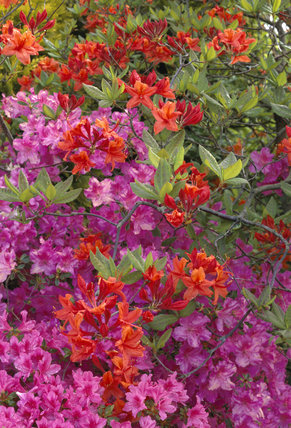 Brilliant pink and red Ghent azaleas in the Castle grounds