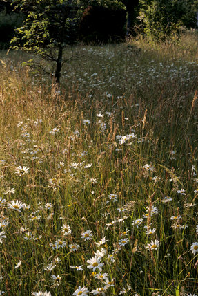 Long grass in the orchard with wild flowers (mainly ox-eye daisies) at Acorn Bank Garden in Cumbria