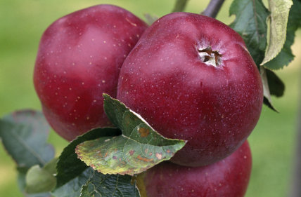 Three Norfolk Beefing Apples, shiny and red, hang in the orchard at Berrington Hall